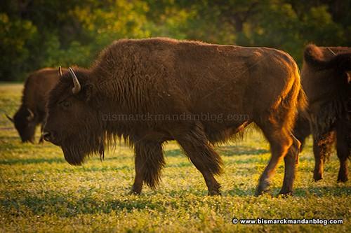 badlands_bison_22480
