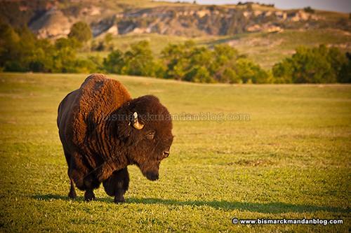 badlands_bison_22491