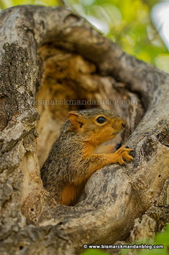 baby_squirrel_37557