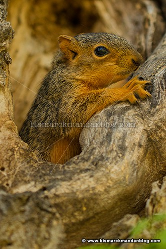 baby_squirrel_37563