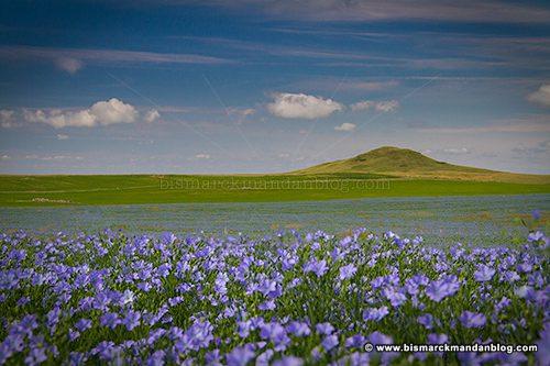 flax_field_40493