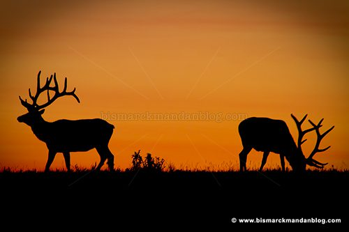 elk_41665